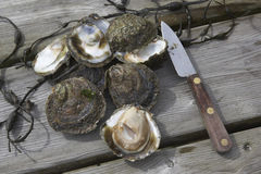 Flat oysters Stock Image