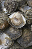 Flat oysters Stock Photo