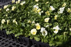 Flat of Pansies. For winter or springtime gardening Royalty Free Stock Photo
