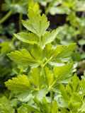 Flat parsley Stock Image