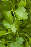 Flat parsley background Royalty Free Stock Image