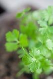 Flat parsley Stock Image