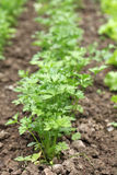 Flat parsley in a garden bed. Flat parsley growing in rows in the garden bed stock photo