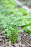 Flat parsley in a garden bed. Flat parsley growing in rows in the garden bed stock photography