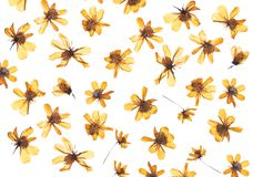 Flat pressed dried flower isolated on white royalty free stock photos