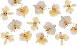 Flat pressed dried flower isolated on white stock photos