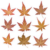 Flat pressed maple leaves Royalty Free Stock Photo