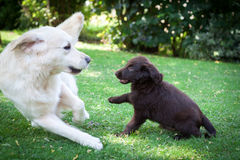 Flat Puppy plays with a Golden. Flat-Coated Retriever Puppy plays with a Golden Retriever stock photography