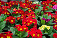 Flat of red primrose plants in the greenhouse Royalty Free Stock Image