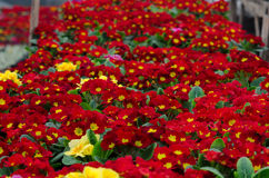 Flat of red primrose plants in the greenhouse Stock Image