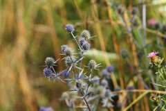 Flat sea holly on a meadow Stock Photography