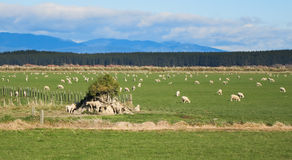 Flat Sheep Farmland.JPG Royalty Free Stock Photography