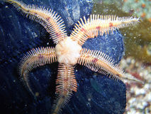 Flat-spined Brittle Star. (Ophiopteris papillosa) found off of central California's Channel Islands royalty free stock image