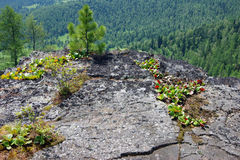 Flat stone bergenia crassifolia Stock Photography