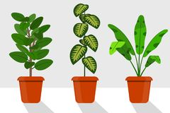 Flat style room plants in pots,  illustration. Dieffenbachia, ficus. Flat style room plants in pots,  illustration. Dieffenbachia, ficus Stock Image