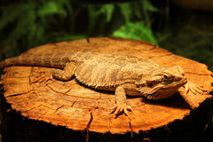 Flat-tailed lizard blending Stock Photography