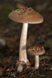 Flat top fruit of amanita fungi Royalty Free Stock Photo