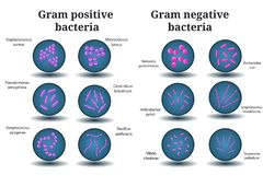 Gram positive and Gram negative bacteria. Coccus, bacillus, curved bacteria in Petri dish. stock illustration