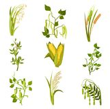 Flat vector sett of cereals and legumes plants. Agricultural crop. Different types of beans and grains royalty free illustration