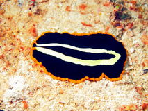 Flat worm Stock Image