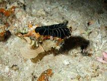 Flat worm, Red sea, Dahab Stock Photo