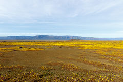 Almost Flat Yellow Landscape of Tankwa Karoo National Park Royalty Free Stock Photo