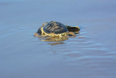 Flatback dennego żółwia hatchling Obraz Royalty Free