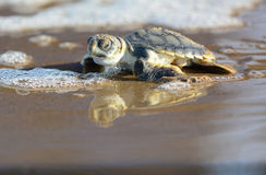 Flatback dennego żółwia hatchling Zdjęcie Royalty Free