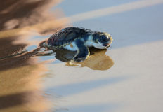Flatback sea turtle hatchling. On its run down the beach at sunset to the pacific ocean in Queensland, Australia Royalty Free Stock Photos
