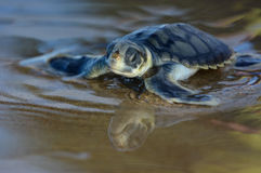 Flatback sea turtle hatchling. On its run down the beach to the pacific ocean in Queensland, Australia Stock Photos
