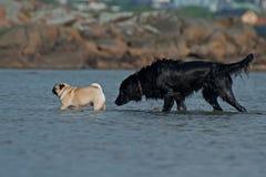Flatcoated retriever following a pugs died in the sea. A wet flatcoated retriever following a pugs died in the sea on a sunny hot day stock photos