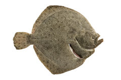 Flatfish Stock Photo