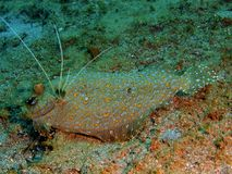 Flatfish. The amazing and mysterious underwater world of the Philippines, Luzon Island, Anilаo, flatfish Stock Images