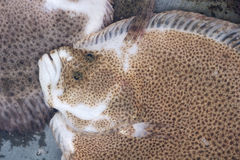 Flatfish. The close-up of flatfish Royalty Free Stock Images