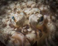 Flatfish eyes. Closeup of the eyes of a flatfish Stock Images