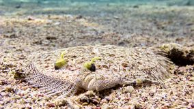 Flatfish fish in Red sea. Flatfish in the Red sea, Eilat, Israel Royalty Free Stock Photos