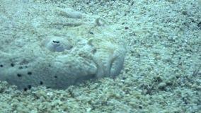 Flatfish masked underwater on sandy bottom in ocean of wildlife Philippines. stock footage