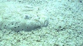 Flatfish masked underwater on sandy bottom in ocean of wildlife Philippines. stock video