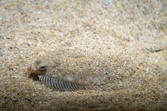 Free Flatfish - Pleuronectidae. Flat Fish Laying Under The Sand On The Sea Bottom, Camouflage On The Ocean Floor Stock Images - 160103954