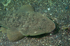 Flathead. Underwater photograph of the flathead Stock Photography