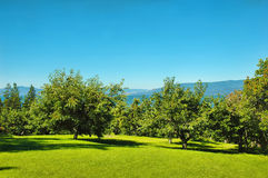 Flathead Cherry Orchard Stock Image