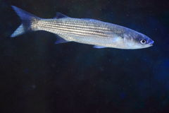 Flathead grey mullet Stock Photo