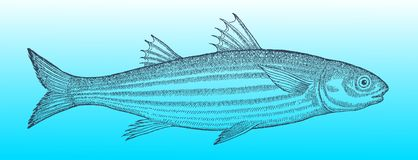 Flathead grey mullet in profile view on a blue-green gradient background. Flathead grey mullet (mugil cephalus) in profile view on a blue-green vector illustration