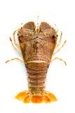 Flathead hummer, fel för hummerMoreton fjärd, orientalisk flathead lob Arkivfoto