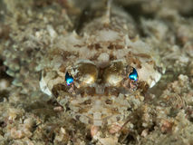 Flathead krokodilfisk Royaltyfria Bilder