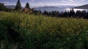 Flathead Lake. Scenic view of a white tailed deer standing in front of Flathead Lake outside of Polson, Montana – June 2006 Royalty Free Stock Photo