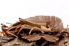 Flathead lobster, Lobster Moreton Bay bug, Oriental flathead lob. Ster isolate on white background Stock Photos