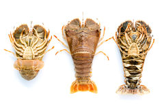 Flathead lobster, Lobster Moreton Bay bug, Oriental flathead lob. Ster isolate on white background Royalty Free Stock Image