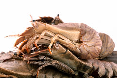 Flathead lobster, Lobster Moreton Bay bug, Oriental flathead lob. Ster isolate on white background Stock Photography