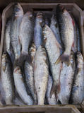 Flathead mullet fish. In the market for sell Royalty Free Stock Photo